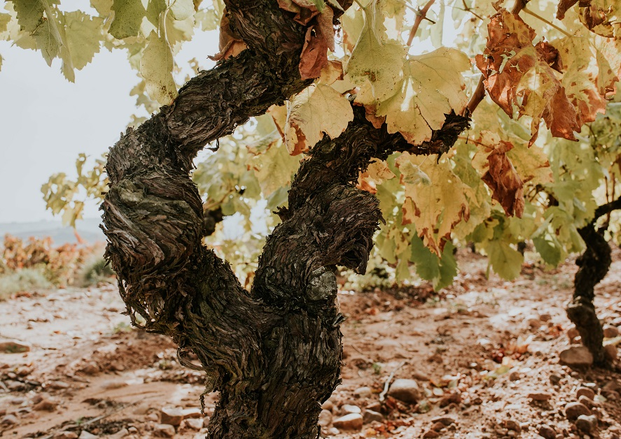 Cepa centenaria Rioja