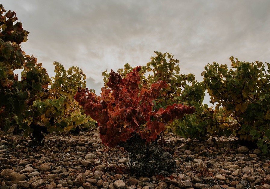 Cepa centenaria Rioja Oriental