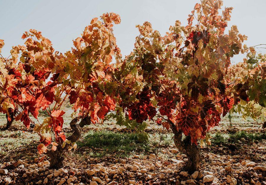 Cepas Rioja Alavesa