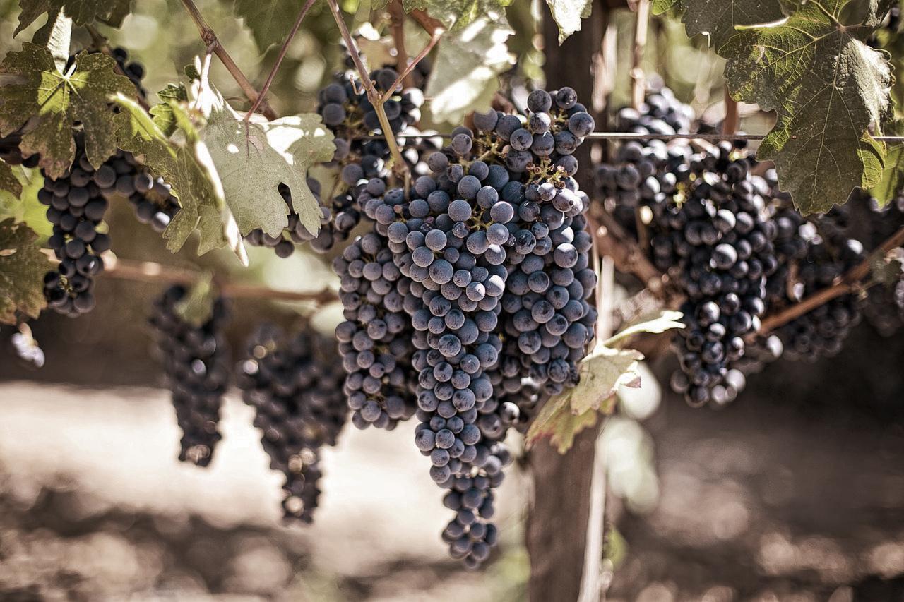 Variedades de uva tradicionales de Rioja