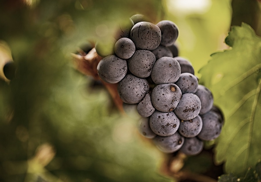 Racimo Tempranillo Rioja
