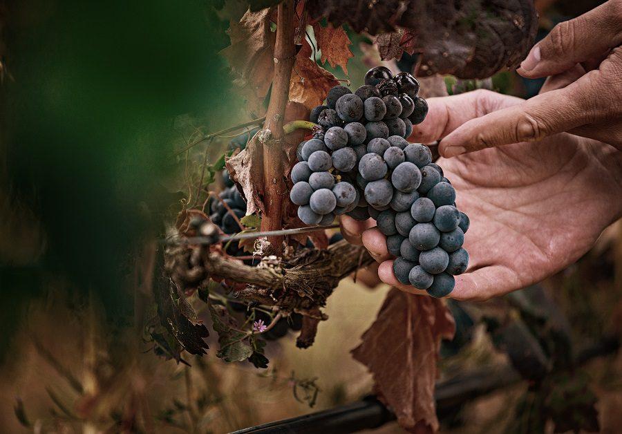 Uva Tempranillo Rioja viñedo