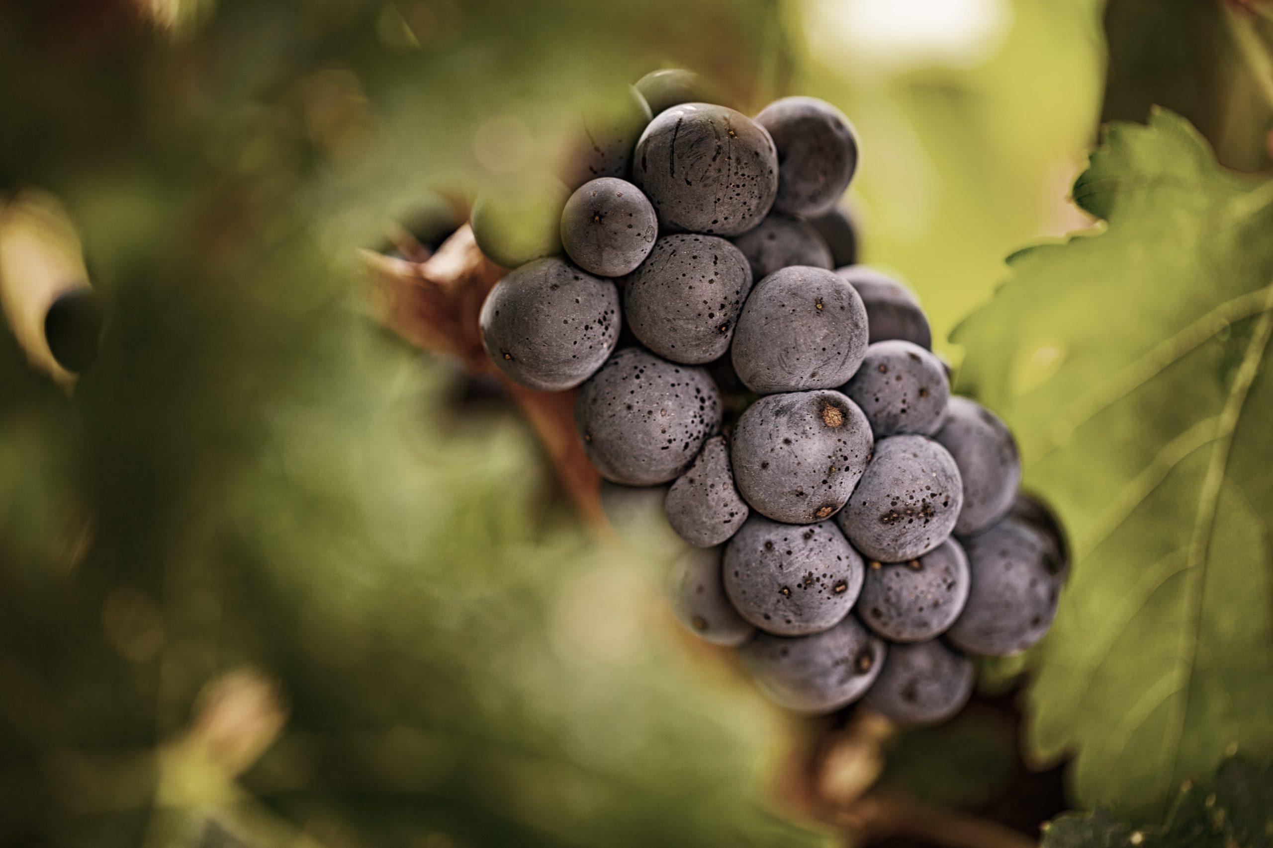 uvas vino de autor