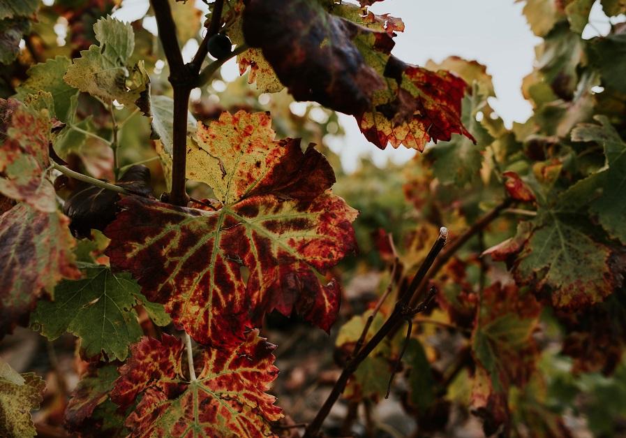 Hoja viñedo Rioja